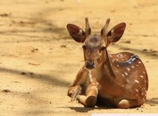 Free Spotted Deer Royalty Free Stock Photos - 5808438