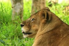 Free Lioness Royalty Free Stock Images - 5808499