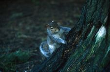 Squirrel Look At Me Royalty Free Stock Image