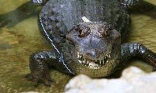 Free Crocodile Royalty Free Stock Photo - 5808585