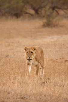 Free Lioness In Sabi Sands Stock Image - 5808591