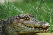 Free Crocodile Stock Images - 5808594