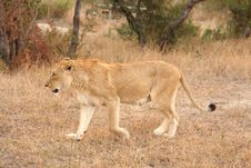 Free Lioness In Sabi Sands Stock Photography - 5808602