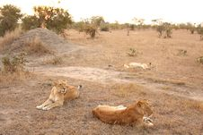 Free Lioness In Sabi Sands Stock Image - 5808631
