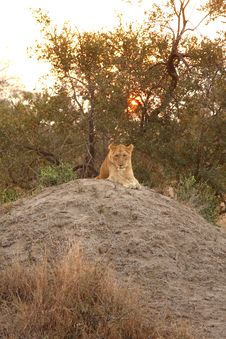 Free Lioness In Sabi Sands Royalty Free Stock Photography - 5808687