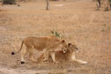 Free Lioness In Sabi Sands Royalty Free Stock Photo - 5808695