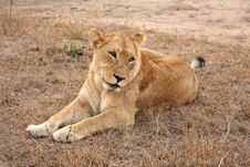 Free Lioness In Sabi Sands Stock Photo - 5808720
