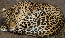Free Leopard Napping Royalty Free Stock Photography - 5808977