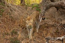 Free Leopard In Sabi Sands Royalty Free Stock Image - 5809026