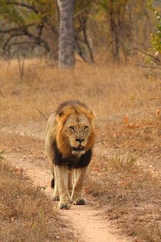 Free Lion In Sabi Sands Stock Image - 5809041