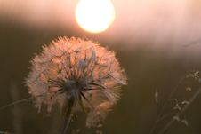 Free Sunset Dandelion Royalty Free Stock Photos - 5810148