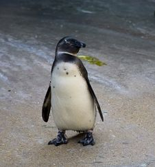Free African Penguin Royalty Free Stock Image - 5810456