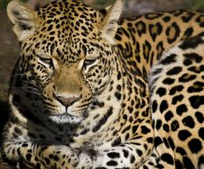 Leopard Watching Stock Photo