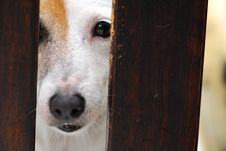 Jack Russell Dog Royalty Free Stock Image