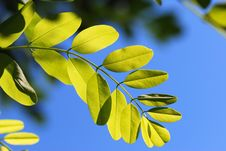 Free Green Leaves Royalty Free Stock Image - 5812006