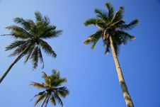 Free Coconut Tree Stock Image - 5812931