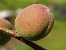 Free Unripe Apricot Stock Photography - 5812942