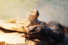 Free Lizards Stock Photos - 5813533