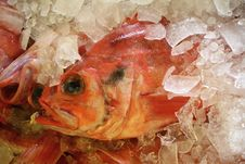 Free Red Fish On Ice Royalty Free Stock Photo - 5813795
