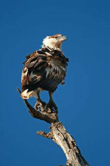 Free Eagle Purched Stock Photos - 5814153
