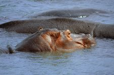 Free Hippopotamus Stock Image - 5814161
