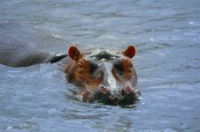 Free Hippopotamus Royalty Free Stock Images - 5814209