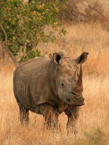 Free White Rhino Frontal Royalty Free Stock Image - 5814246