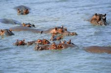 Free Group Of Hippopotamus Royalty Free Stock Photos - 5814288
