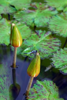 Free Dragonfly On Water Lily Stock Image - 5814711