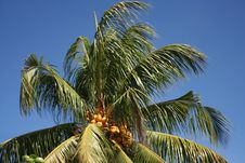 Free Palm-tree, Coconuts , Sky Stock Photo - 5814830