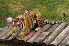 Free TIGER Royalty Free Stock Image - 5814856