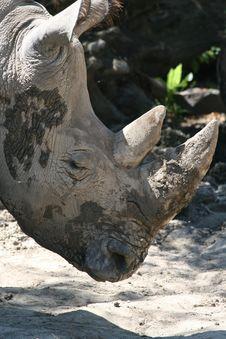 Muddy Rhinoceros Head Stock Images