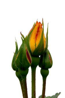 Free Rose Buds Stock Image - 5815341