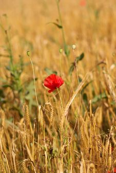 Free Poppy In The Cereal Royalty Free Stock Photography - 5817697