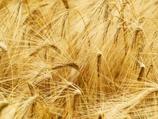 Free Wheat Background Royalty Free Stock Photography - 5818137