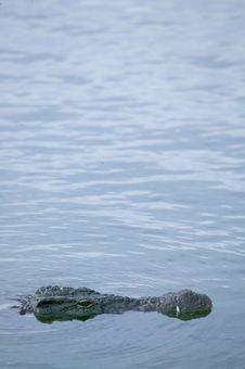 Free Crocodile Stock Image - 5818691