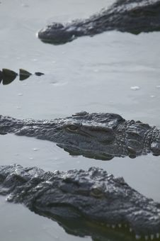 Free Crocodiles Royalty Free Stock Photos - 5818758