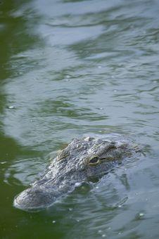 Free Crocodile Royalty Free Stock Image - 5818776