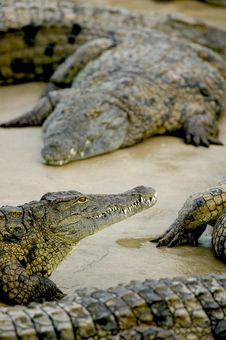 Free Crocodiles Royalty Free Stock Photo - 5818835