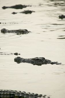 Free Crocodiles Stock Photos - 5818853