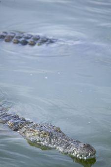 Free Crocodile Stock Photos - 5818863
