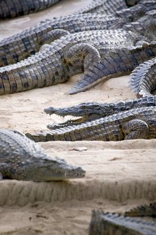 Free Crocodiles Royalty Free Stock Photography - 5818907