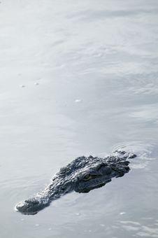 Free Crocodile Royalty Free Stock Photo - 5818975