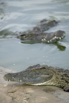 Free Crocodiles Stock Images - 5819004