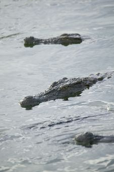Free Crocodile Royalty Free Stock Photos - 5819118