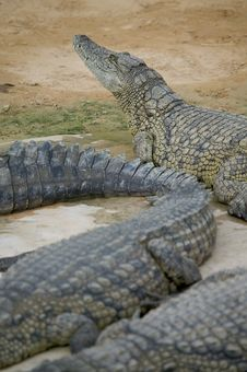 Free Crocodile Royalty Free Stock Photo - 5819125