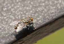 Free Flesh Fly Stock Photography - 5819152