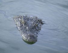 Free Crocodile Royalty Free Stock Photo - 5819165