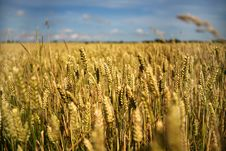 Free Wheat Field Royalty Free Stock Photos - 5819268