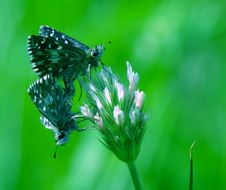 Free Two Butterflies Making Love Royalty Free Stock Images - 5819809